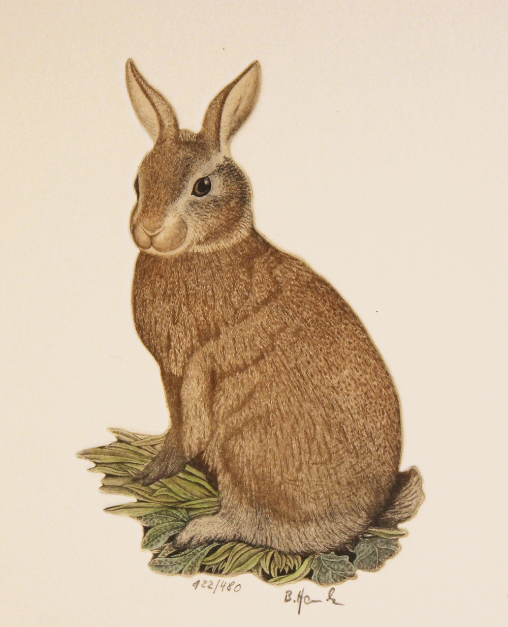 Engraving, Hand coloured restrike engraving, Rabbit. Click to enlarge