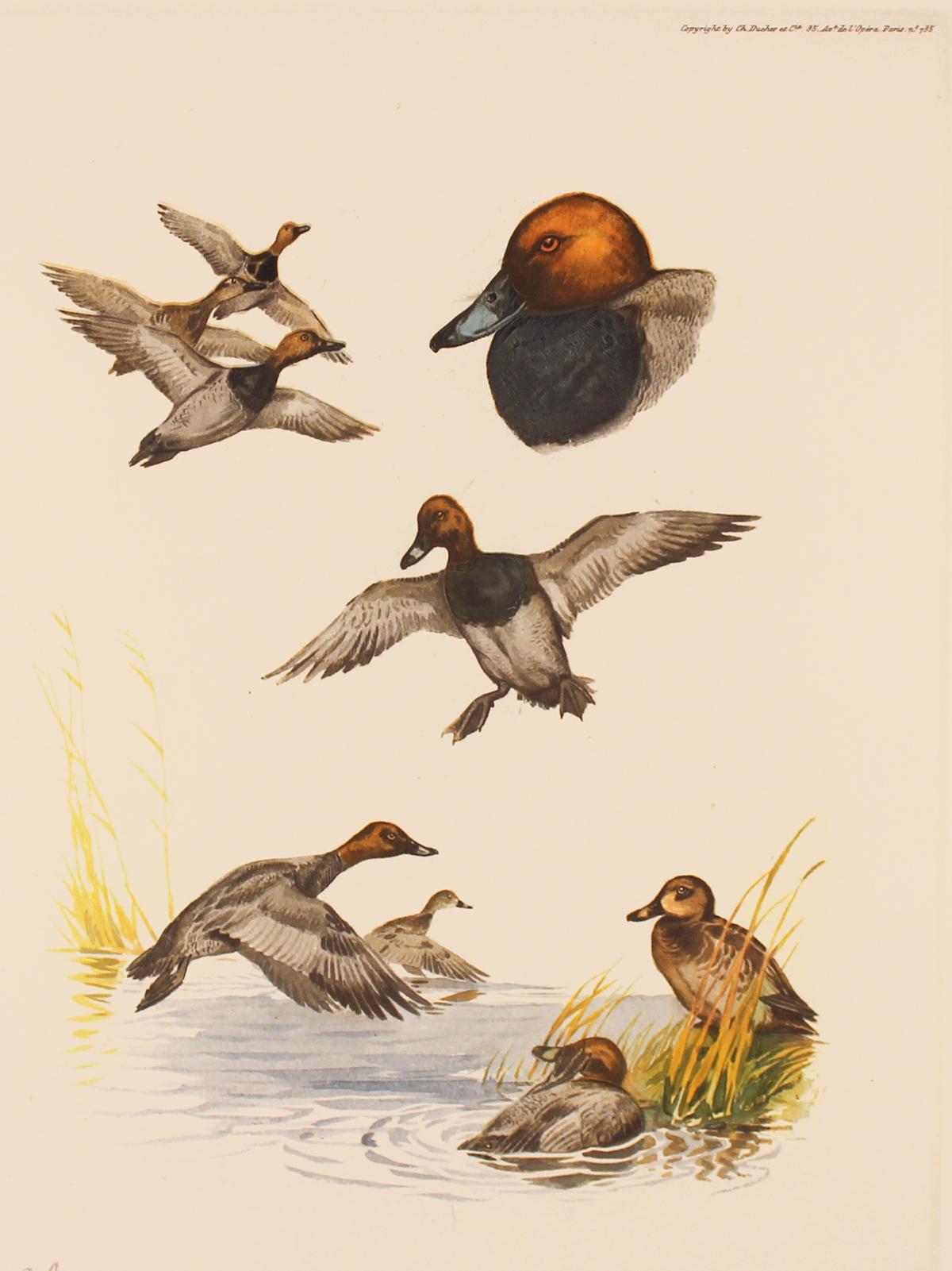 Engraving, Hand coloured restrike engraving, Pochard Duck. Click to enlarge