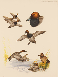 Engraving, Hand coloured restrike engraving, Pochard Duck