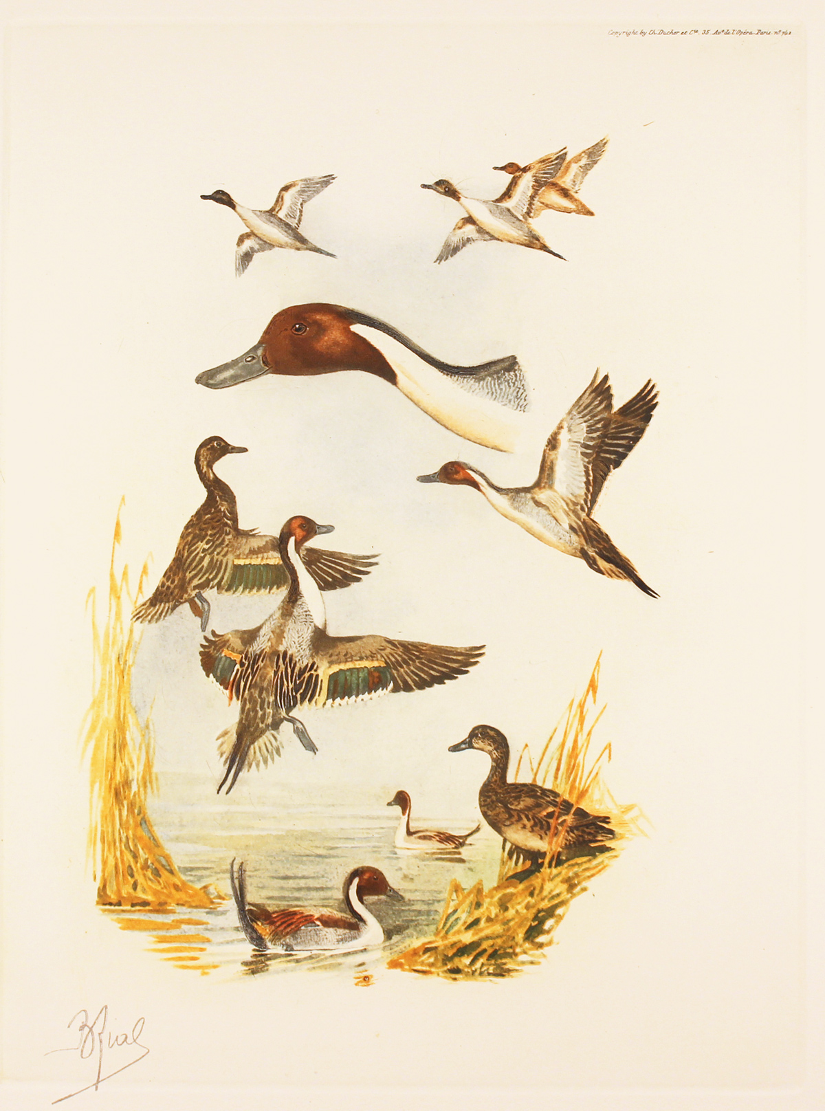 Engraving, Hand coloured restrike engraving, Pintail Ducks. Click to enlarge