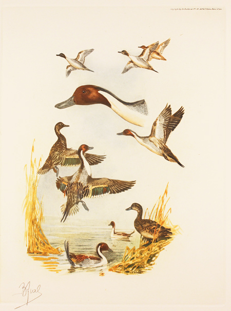 Engraving, Hand coloured restrike engraving, Pintail Ducks Without frame image. Click to enlarge