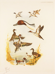 Engraving, Hand coloured restrike engraving, Pintail Ducks