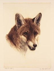 Engraving, Hand coloured restrike engraving, Fox Large image. Click to enlarge