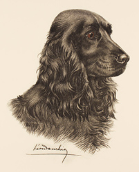 Engraving, Hand coloured restrike engraving, Black Cocker Spaniel  Large image. Click to enlarge