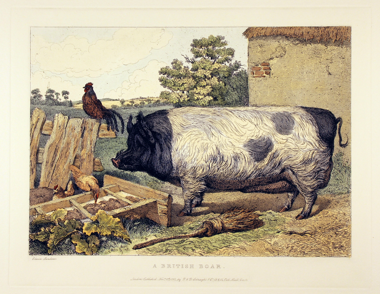 Engraving, Hand coloured restrike engraving, British Boar, click to enlarge