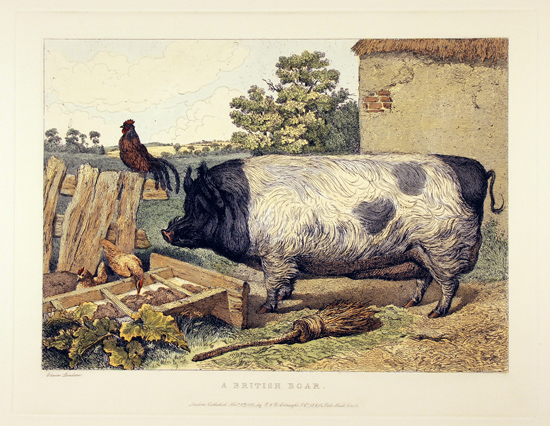 Engraving, Hand coloured restrike engraving, British Boar Without frame image. Click to enlarge