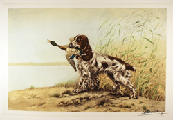 Engraving, Hand coloured restrike engraving, Cocker Spaniel and Duck Large image. Click to enlarge