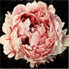 Neill Jenkins, Original oil painting on canvas, Pink Peony 2