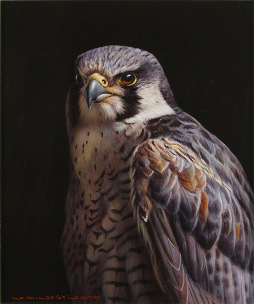 Wayne Westwood, Original oil painting on panel, Peregrine Falcon Without frame image. Click to enlarge